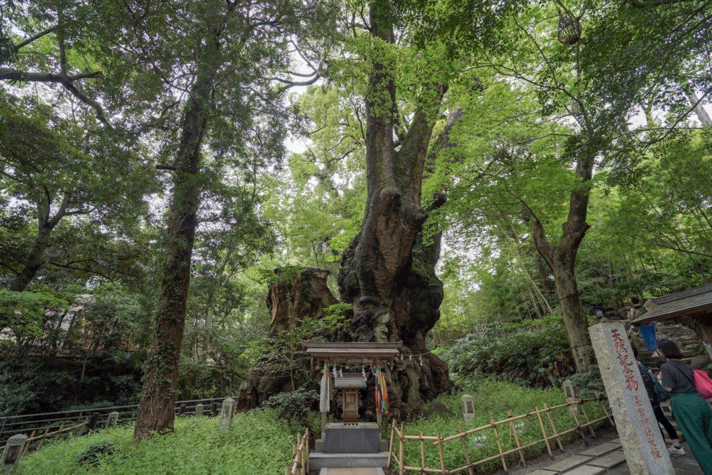 來宮神社(来宮神社)にあるパワースポットと言われる大楠