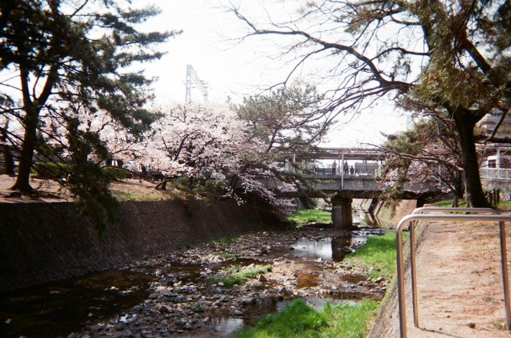 写ルンですで撮影した夙川の桜
