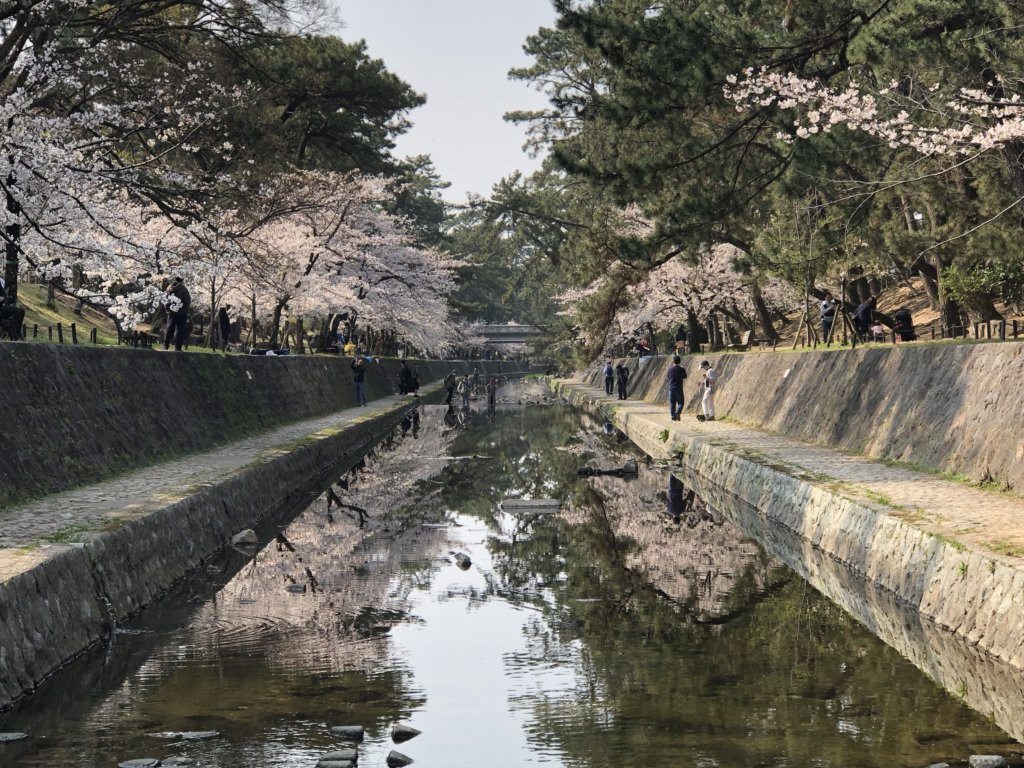 iPhoneで撮影した夙川の桜