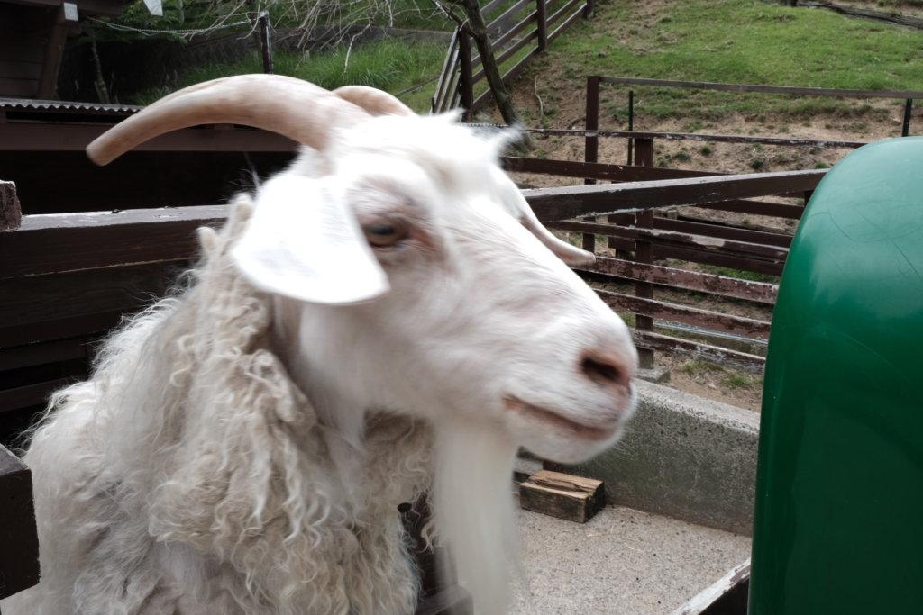 富士フィルム(FUJIFILM)のXT-30で撮影した六甲山牧場のヤギの写真
