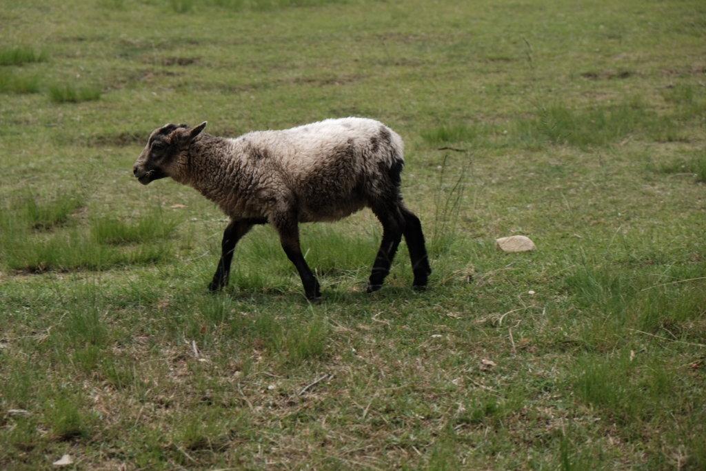 富士フィルム(FUJIFILM)のXT-30で撮影した六甲山牧場の羊の写真